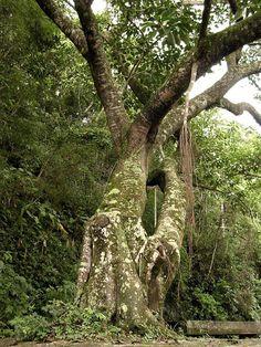 Old tree @ Floresta da Tijuca - Rio de Janeiro, Brazil