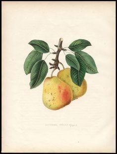 peer Docteur Nélis - Annales de Pomologie Belge et Etrangere - Bivort - 1855