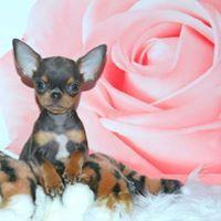 99 Chihuahua Rescue Uk In 2020 Chihuahua Rescue Chihuahua