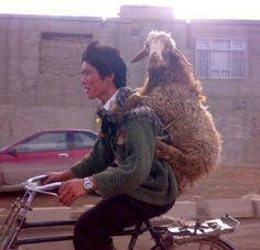 Sheep piggy back