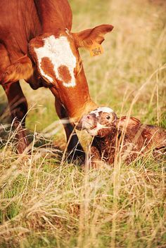 "the Pioneer Woman's newborn calf ""Gumdrop"" being kissed by Mama! :)"