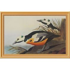 Global Gallery 'Western Duck' by John James Audubon Framed Wall Art Size: