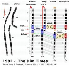HUMAN EVOLUTION: It is highly likely that in the distant past an animal that was the common ancestor of both chimpanzees and early humans underwent a chromosomal event that saw Chromosome #2a and #2b fuse together to form Chromosome #2 in what was to become the ancestor of all humans to come.