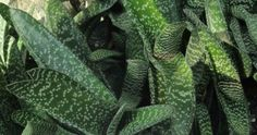 Gasteria carinata – Bredasdorp Gasteria, Keeled Ox Tongue