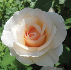 Top 10 Best Roses: Mother of Pearl- almost continuously in bloom - especially if deadheaded. 4' x 3'