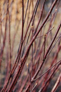 Cornus = kornoelje heeft een harde houtstructuur, is geschikt voor 'draaiwerk', vlechten. Het Cornus geslacht heeft veel struiken met een geheel eigen klieur, bijv. Cornus alba 'Sibirica' heeft felrode twijgen, C. sanguinea 'Winter Beauty' heeft gele takken met aan de zonzijde opvallend oranjerode kleur. De struik kan 2.5 m. hoog worden, veel soorten hebben ook een prachtige herfstkleur van geel tot rood toe.