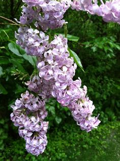 Connecticut Lilac too