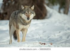 Find wolf dog stock images in HD and millions of other royalty-free stock photos, illustrations and vectors in the Shutterstock collection. Thousands of new, high-quality pictures added every day. Royalty Free Images, Royalty Free Stock Photos, Wolf World, Wolf Photos, Wolf Wallpaper, Lone Wolf, Husky, Grey, Illustration