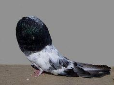 Blue grizzle old german cropper pigeon