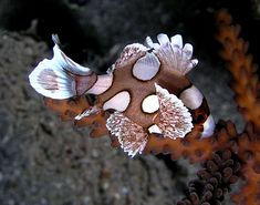 Plectorhinchus chaetodonoides - Harlekijnvis (juveniel)
