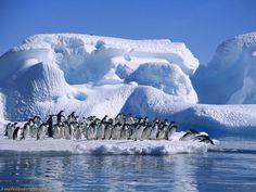Adelie Penguins...annnnd JUMP !
