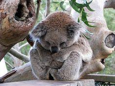 koala-bear-cute.jpg (640×480)