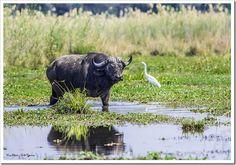 Lonely Buffalo - Chewore, Zambezi River.