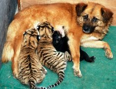 momma dog and tiger cubs....