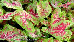 Caladium Freckles From Clic Caladiums New Varieties Pinterest Plants Flowers And Gardens