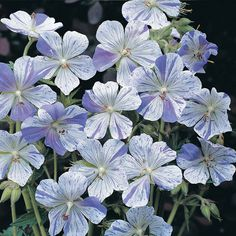 "Hardy Geranium pratense Splish Splash : One of our favourites - white petals splashed and speckled with blue. Hardy Geraniums are perfect for bedding in the borders as they come back with colour year after year! They naturally spread so once you have had them in the garden for a couple of years you can divide them up and have even more plants! Height: 55cm (22""). Spread: 30cm (12"").(EG Spring 2013) // db Sp12 $10"
