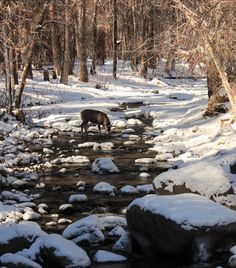The Rio Ruidoso, in the Upper Canyon. A large buck in the river. Images from http://www.ruidoso-homes.com and Weaver Real Estate. #ruidoso