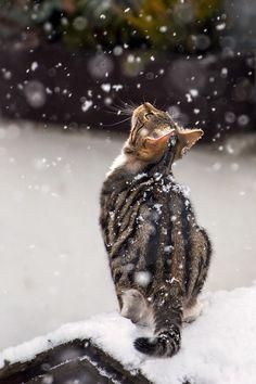 Staunendes Kätzchen von Kleckselkönig / Es war etwas schwierig bei dem dichten Schneefall auf diese Entfernung das Tier in die Schärfe zu bekommen. Aber dieses kleine staunende Kätzchen war einfach so bezaubernd. Wie ein kleines Kind, dass zum ersten mal Schneeflocken sieht. Immer wieder versuchte es die Flocken zu fangen und schaute verwundert nach oben.