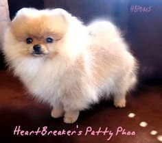 pomeranian+puppies | White Pomeranian White Teacup Pomeranian Puppies For Sale Puppy Los ...