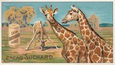 Giraffe, 1904-14