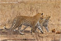 Mother and subadult cub - Wildlife Photographer Community This wonderful moment captured in her camera by Ursula Celliers and Shared on website http://photos.wildfact.com  Click to view in full frame and join the website to share your images