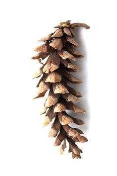 Cone: Eastern White Pine