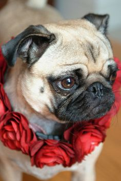 Ring around a pug rosy