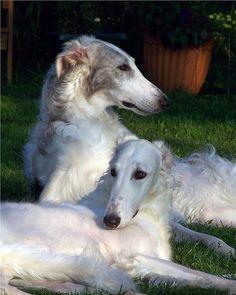 Borzoi. www.doggifit.com
