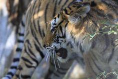 En Inde, nous soutenons un programme de recherche sur le fauve, son habitat et ses proies. Notre partenaire Aaranyak sensibilise également les locaux à s'investir pour la sauvegarde de l'espèce.  #Tigres © Awely, des animaux et des hommes