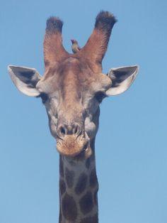 Cute Giraffe, Africa