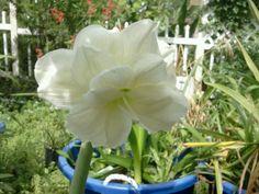 Triple White Amaryllis