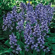 Shop Dutch Spring Bulbs at Breck's