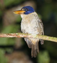 Scaly Kingfisher: endemic to Indonesia