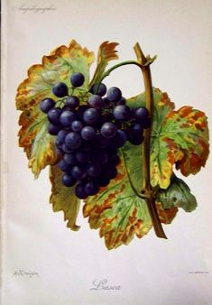 I want to grow grapes that look just like this!