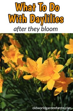 What to do with daylilies AFTER they bloom. #plants #daylilies #landscape #blooms #flowers #deadhead #seeds #replant #divide #stella #oldworldgardenfarms