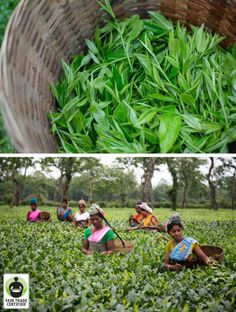 Happy National Iced Tea Day! Let's hear it for #FairTrade #tea workers getting a fair price for their hard work! #icedtea #nationalicedteaday