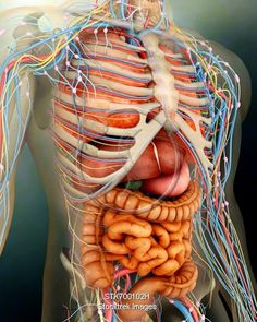 large human body organs for skeleton cards | interactive products, Skeleton