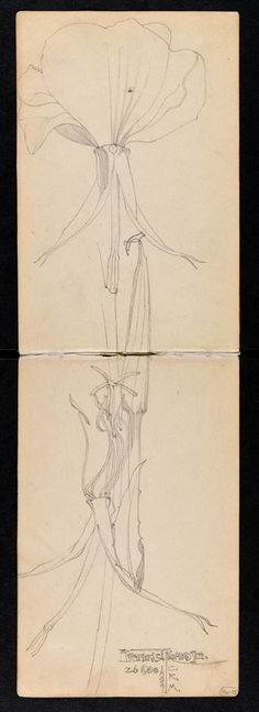 Charles Rennie Mackintosh - Sketchbook of travels in Scotland and a tour to Kent - Evening primrose - 26 August, 1894