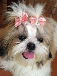 Kittens And Puppies, Cute Puppies, Cute Dogs, Shiz Tzu, Dog Haircuts, Puppy Treats, Funny Animal Photos, Shih Tzu Puppy, Happy Puppy