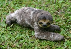 Sloth adorable baby