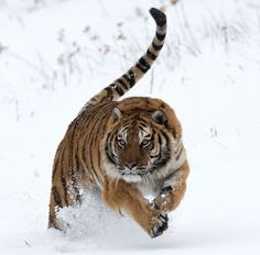 Tigre nieve
