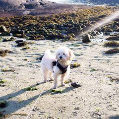 I love to play on the beach photo from last night! - #maltipoo #maltipoopuppy #maltipoosofinstagram #maltipoos #maltese #toypoodle #poodle #instapuppy #instapet #instadog #ilovemydog #reginedog #ipad #cutenessoverload #dogs_of_instagram #dogs_features #puppysketch #animalsaddict #picoftheday #dogoftheday #dogs_of_instagram #hund #valp #worldofcutepets #beachlife by lucymaltipoo