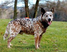 1396352870_australian_cattle_dog-1.jpg (1024×805)