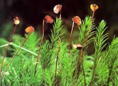 Výsledek obrázku pro ploník mechy Plants, Plant, Planting, Planets