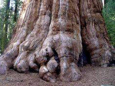 árvore mais alta do mundo