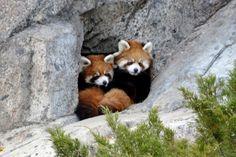 Red Pandas at the Calgary Zoo