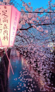 Night view over sakura tree in Nakameguro, Tokyo. Aesthetic Japan, Japanese Aesthetic, Aesthetic Anime, Tokyo Japan Travel, Japan Japan, Japan Sakura, Kyoto Japan, Sakura Festival Japan, Geisha Japan