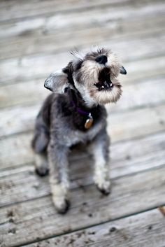 Cute dogs Miniature #Schnauzer Cute Pets