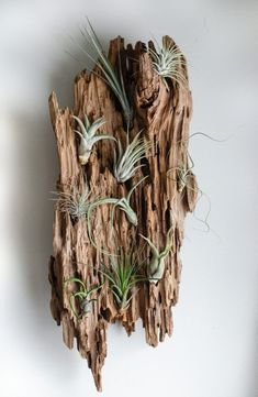 Are you in love with the coastal look? Here are the must haves for that perfect seaside style. You will love the way these amazing coastal decor ideas look in your home! Driftwood Planters, Driftwood Wall Art, Driftwood Projects, Driftwood Furniture, Air Plants, Indoor Plants, Seaside Style, Sea Glass Crafts, Branch Decor