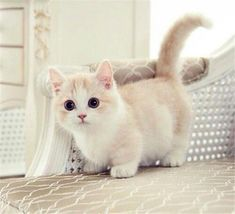 - Munchkin kitten - I have one of these special kittens, Precious is all black and fluffy with tiny legs. Yet she is the quickest and smartest in her feline family. Cute Kittens, Cats And Kittens, Kitty Cats, Fluffy Kittens, Derpy Cats, Cats Meowing, Siamese Kittens, Tabby Cats, Bengal Cats